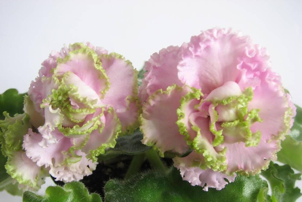 вниманию фиалка розовая с зеленой каймой фото одна