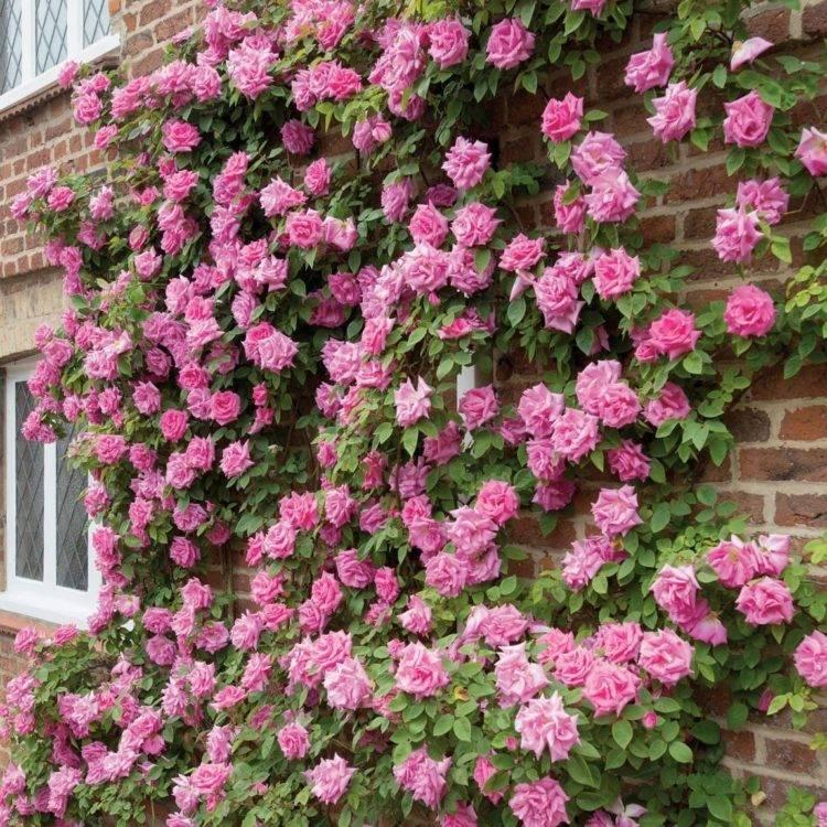Плетистая роза супер дороти
