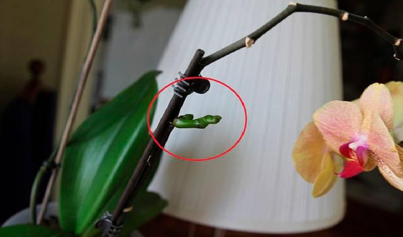 Цитокининовая паста для орхидей для размножения и цветения: инструкция применения, отзывы