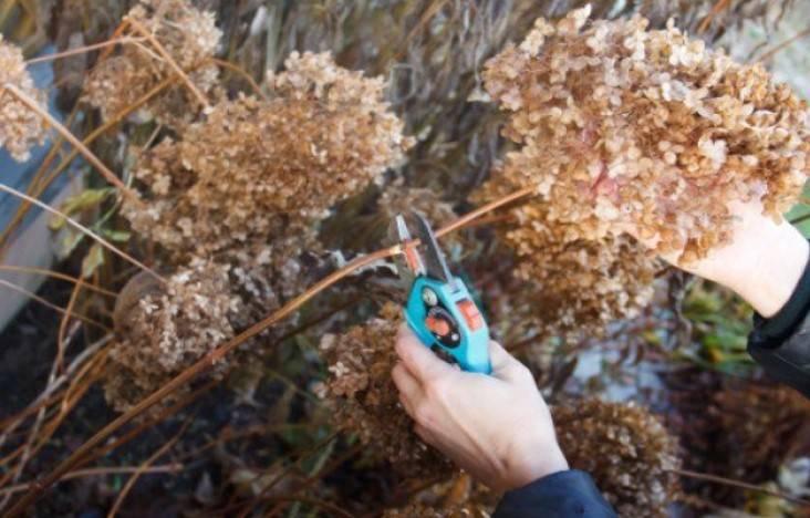 Гортензия пинки винки метельчатая посадка и уход в открытом грунте