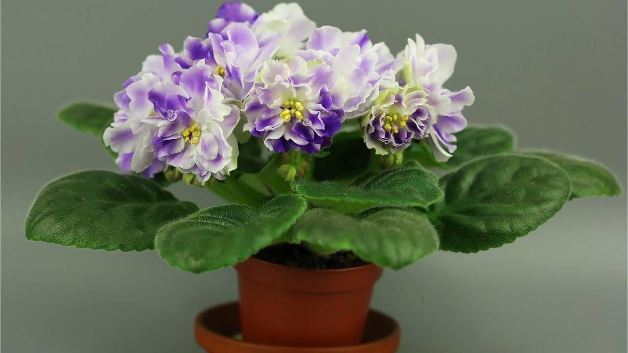 Узнайте, почему фиалки не цветут и что делать?