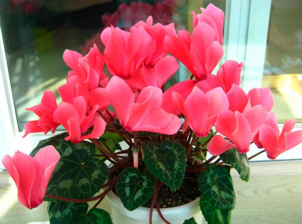 Цветок цикламена картинки