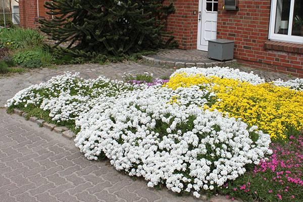 Иберис зонтичный выращивание из семян