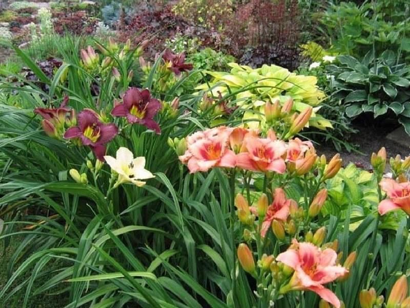 Пересадка лилейников осенью на другое место — когда пересаживать цветы
