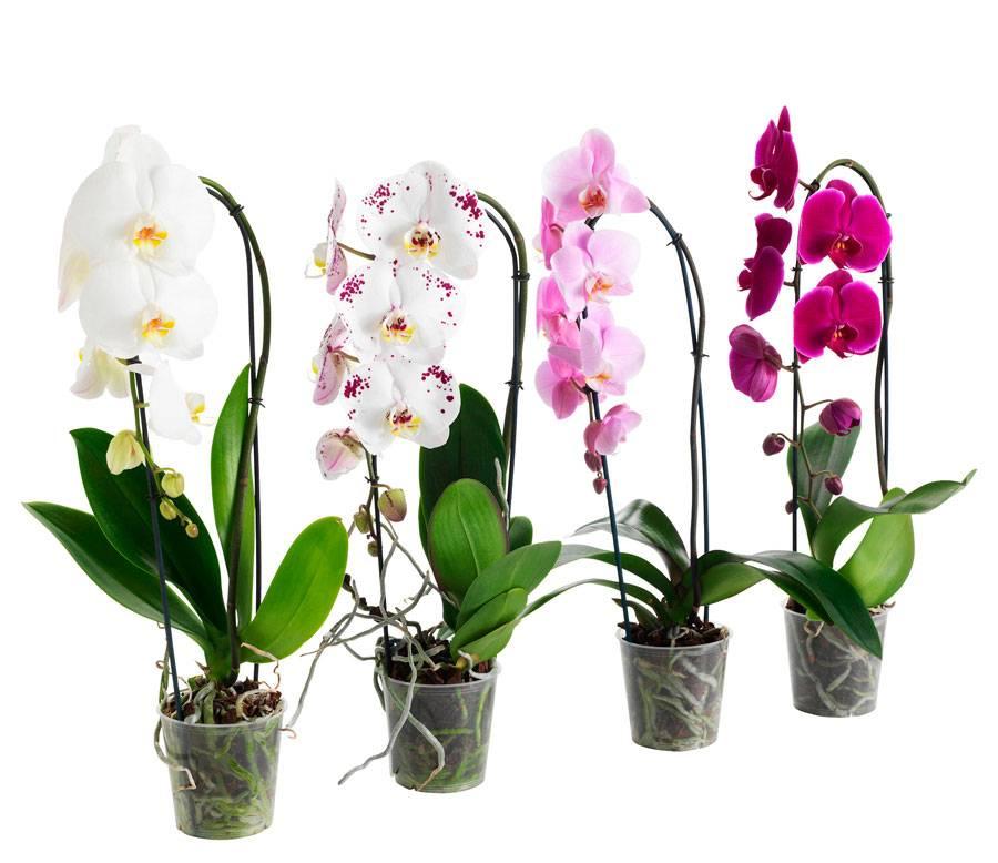 Уход за цветами фаленопсис