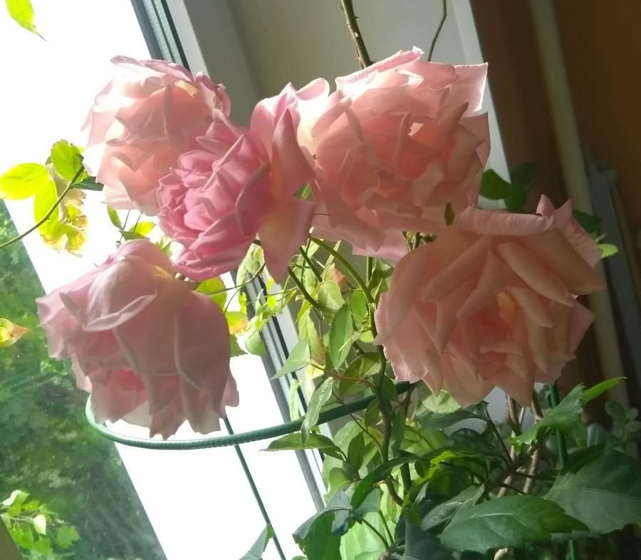Роза Домашняя: Описание, Посадка, Уход
