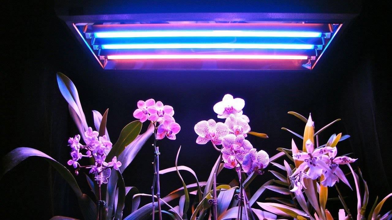 Когда зацветет молодая орхидея