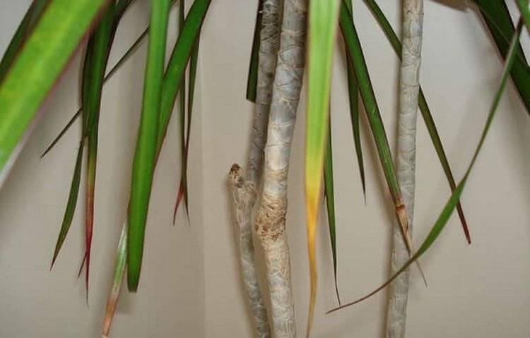 У драцены сохнут кончики листьев что делать