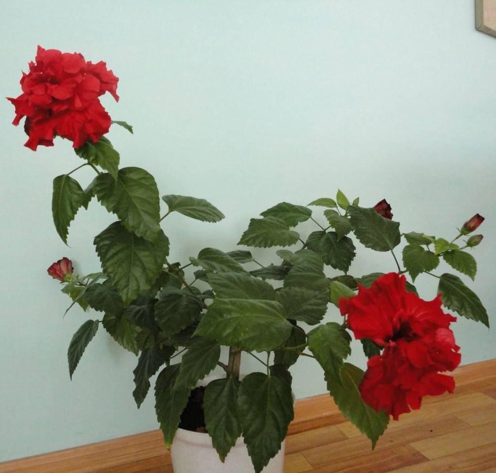 Как ухаживать за розой в горшке осенью