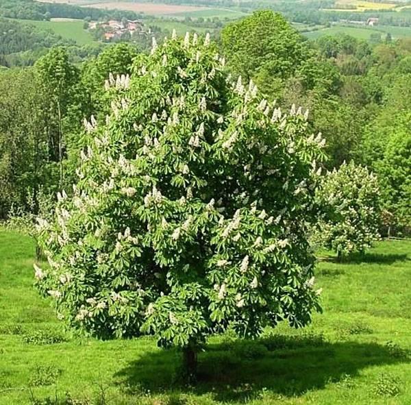 Каштановые деревья: как выглядит и как быстро растет, посадка и уход