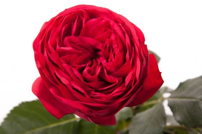 Роза парковая пиано