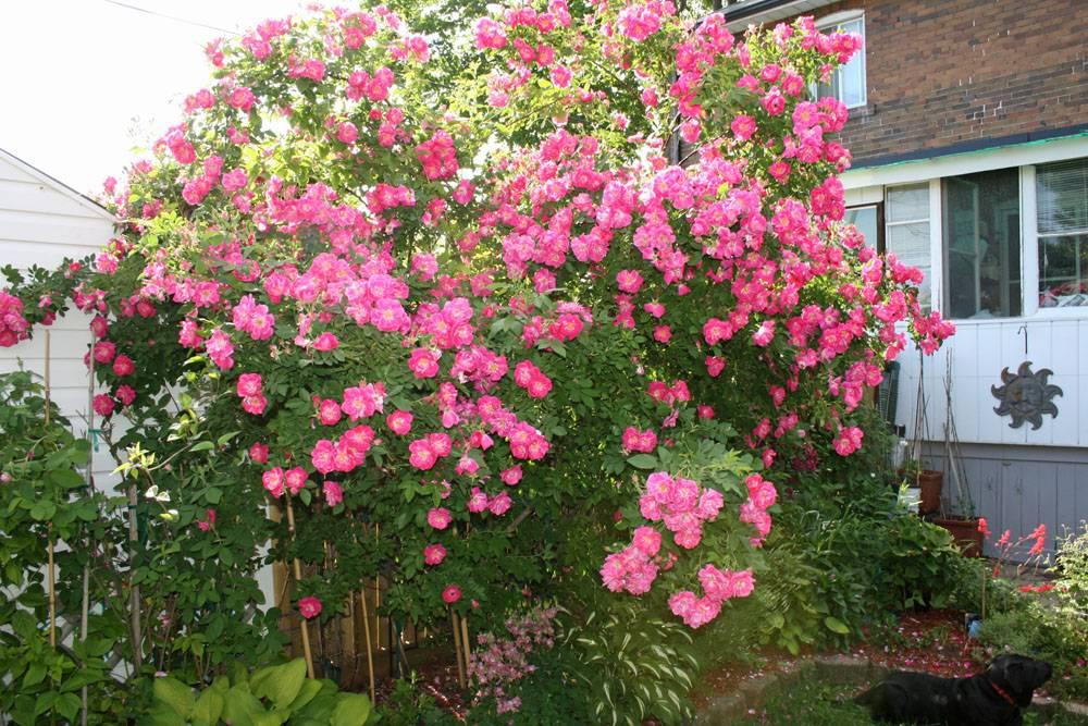 розы корнесобственные цветущие фото описание параметр, который