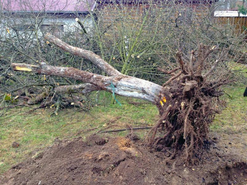 Удаление плодовых деревьев