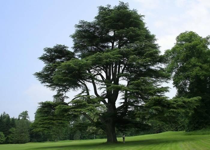 Кедр сибирский — как вырастить гордое дерево