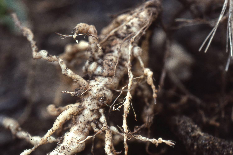 Болезни пионов и их лечение ( фото)