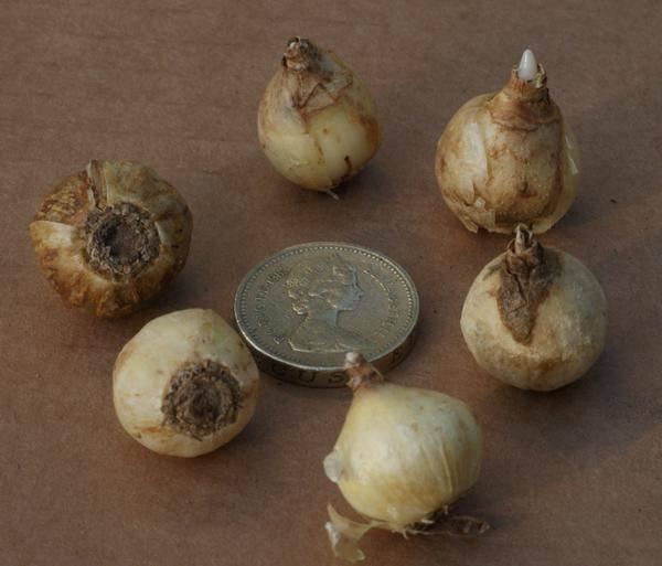Хионодокса посадка и уход в открытом грунте в сибири