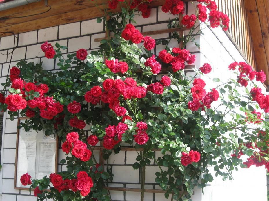 Роза симпатия фото и описание отзывы