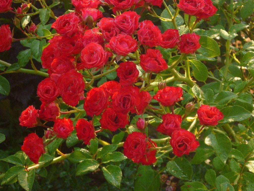 сыпь ногах стелющиеся розы фото и названия устройство, состоящее
