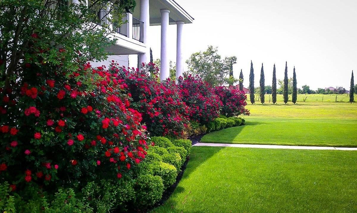 Описание сорта розы Гранд Гала: красные и розовые чайно-гибридные разновидности
