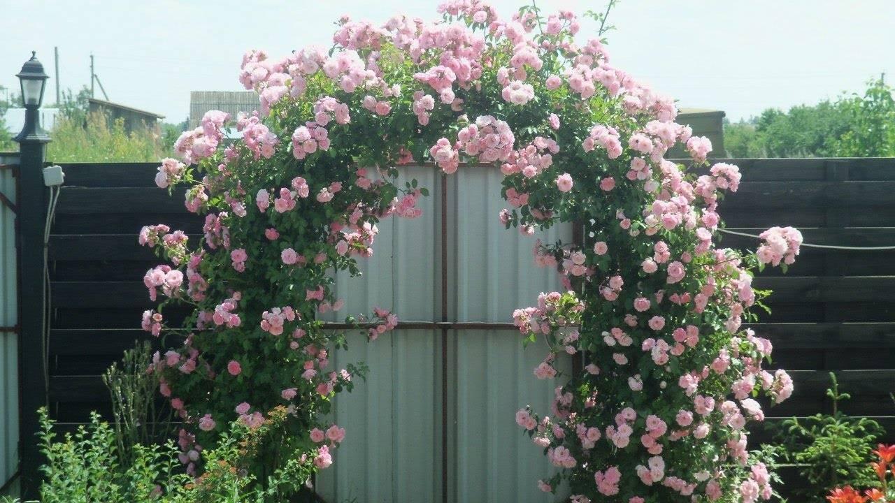Роза Хендель 26 фото описание плетистого сорта и уход за ним