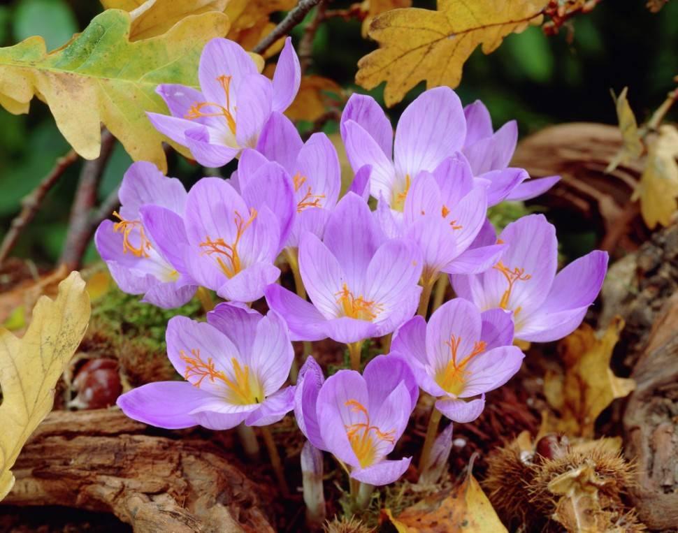 Крокусы не обязательно выкапывать после цветения