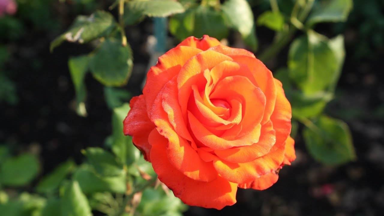 Роза фишерман френд энциклопедия роз