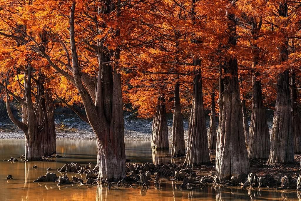 Как выглядит дерево кипарис