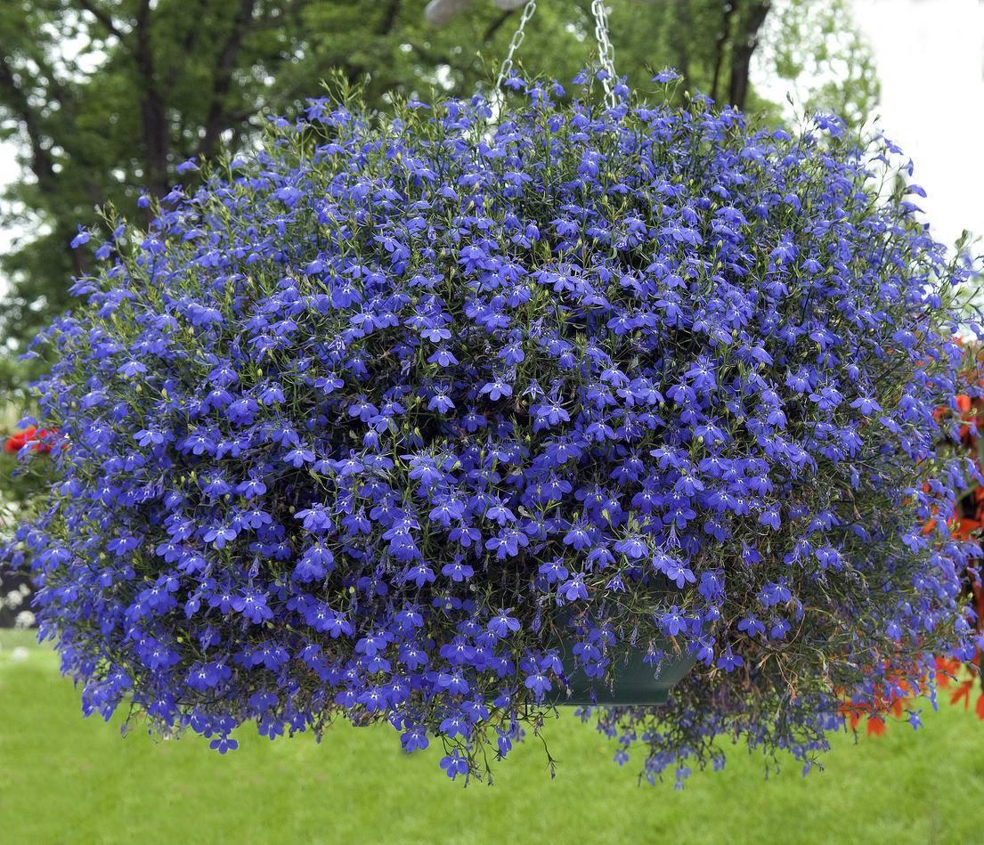 Что означает ампельное растение
