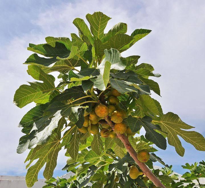 Инжир ягода или фрукт