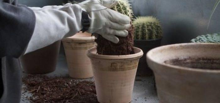 Как посадить кактус? Как сажать отростки без корней в горшок, пластиковую вазу? Как правильно отсаживать деток кактуса в домашних условиях?