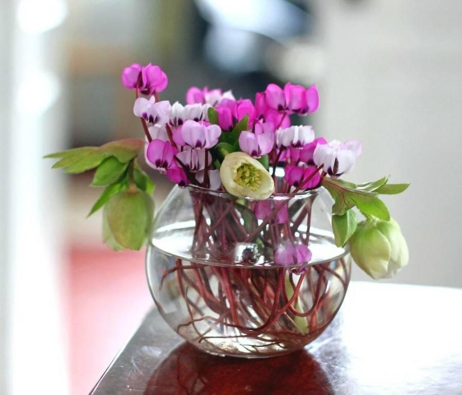 Цикламен — когда цветет, как это выглядит