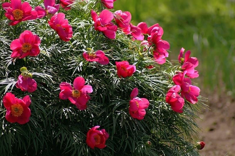 Пион марьин корень выращивание из семян