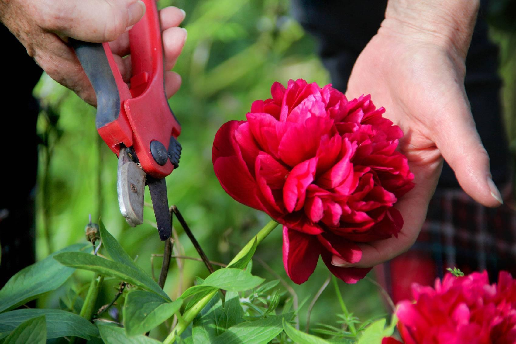 Офишиналис розеа плена пион