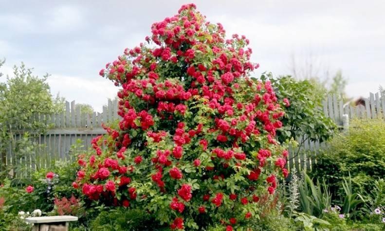 Плетистая роза фламентанц посадка и уход