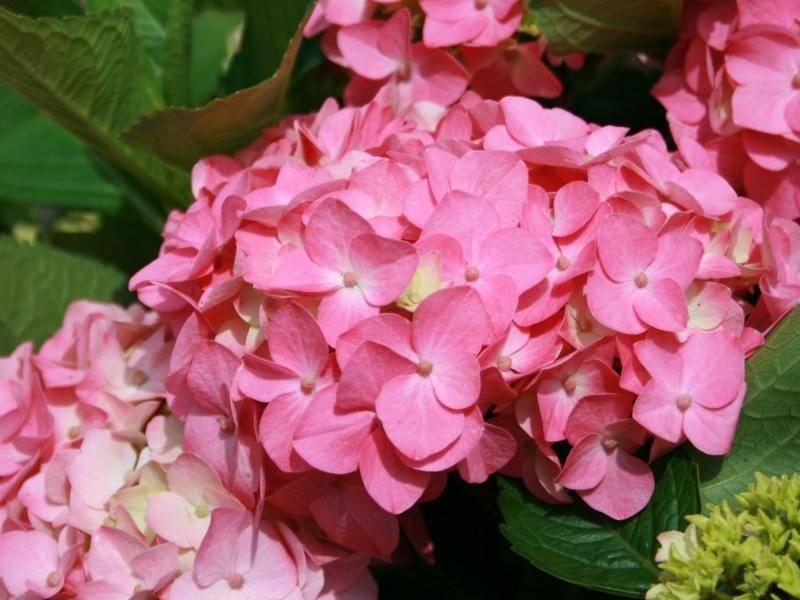 Гортензия Букет Роуз (Bouquet Rose) крупнолистная || Гортензия крупноцветковая букет роз