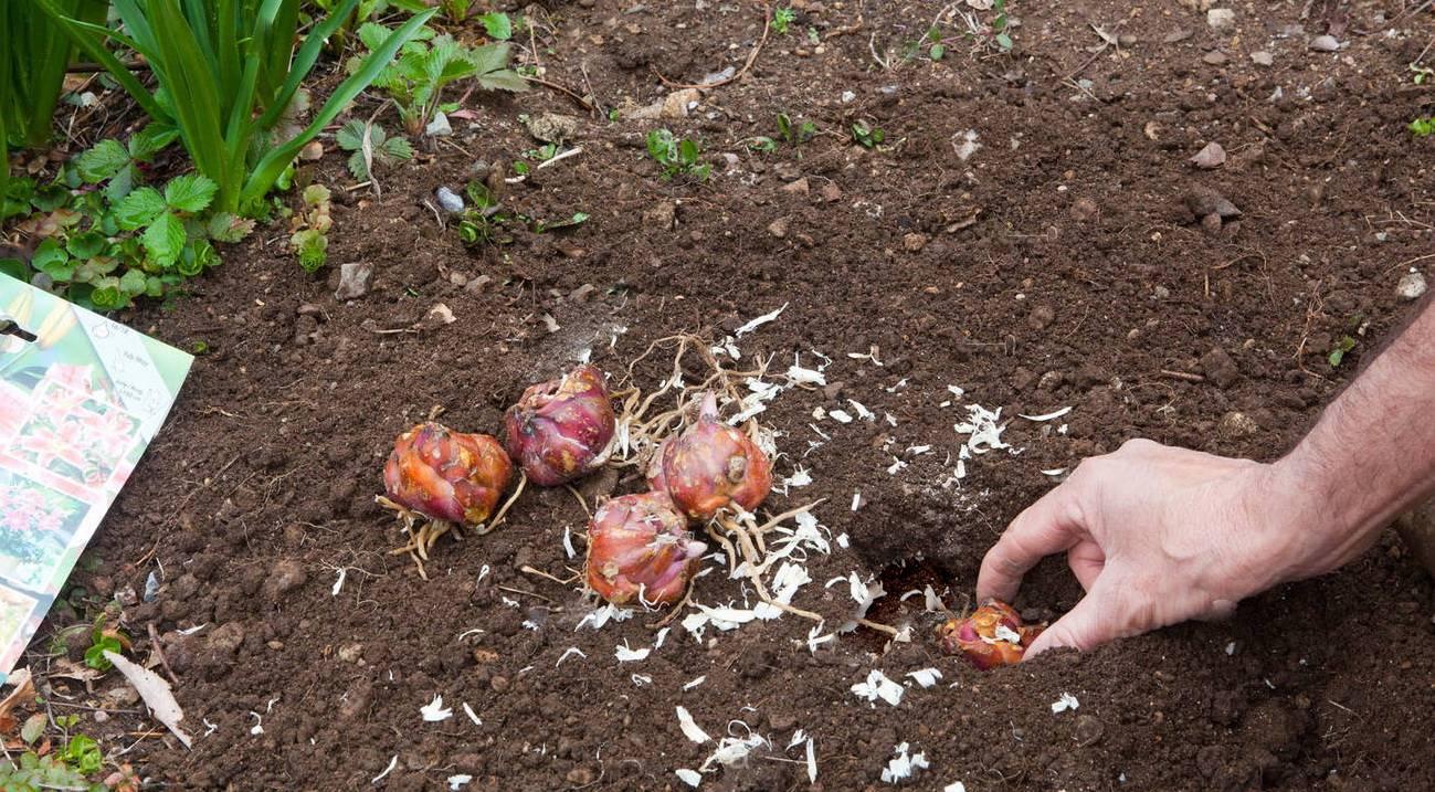 Как вырастить лилии из луковиц