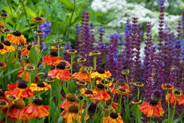 Гелениум многолетний (45 фото): посадка и уход за цветком в открытом грунте в саду. Описание сортов. Их размножение