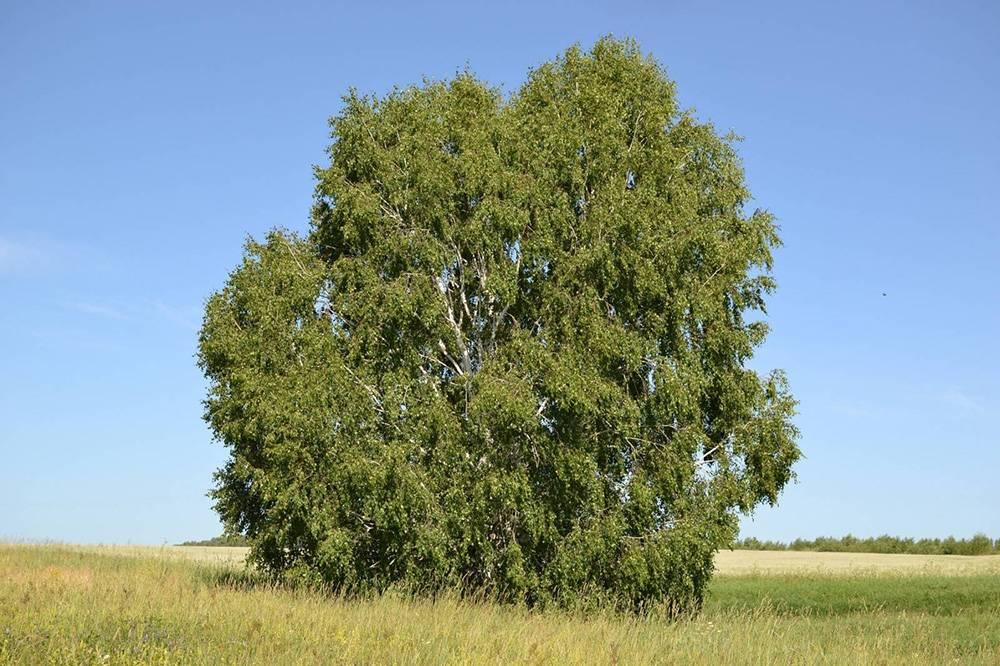 Какие бывают виды деревьев