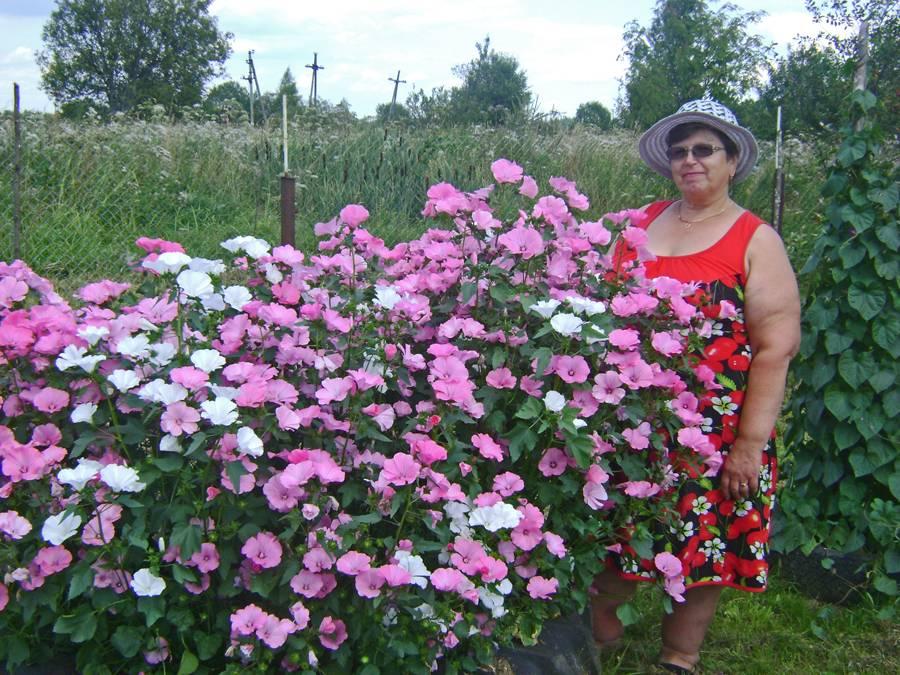 Выращивание лаватеры многолетней: посадка семян на рассаду, уход в открытом грунте