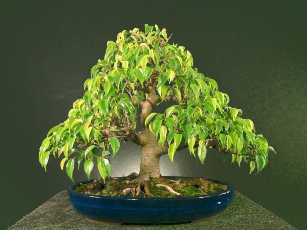 Бонсай в аквариуме – ammania sp bonsai