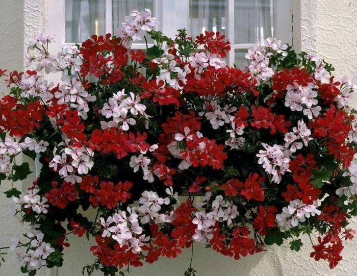 Цветы для подвесных кашпо названия