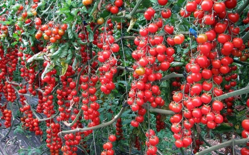 Томат Ампельный смесь: описание и характеристика сорта, выращивание и уход с фото