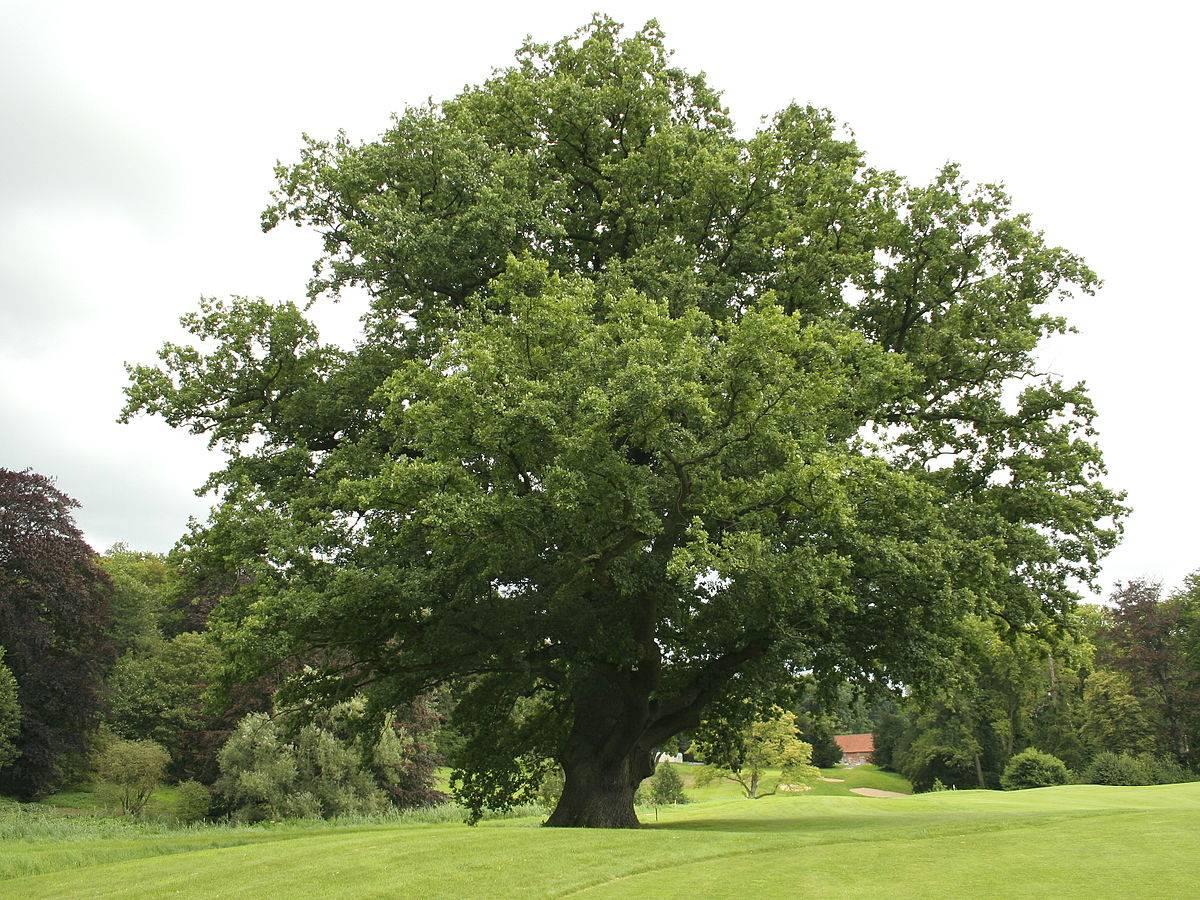 Как вырастить дуб из желудя в горшке