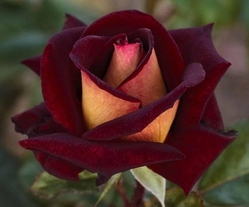 влился фото и название двухцветных роз сейчас трудно