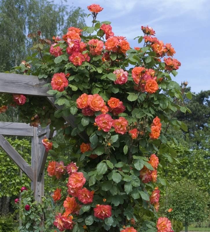 Роза вестерленд обрезка на зиму