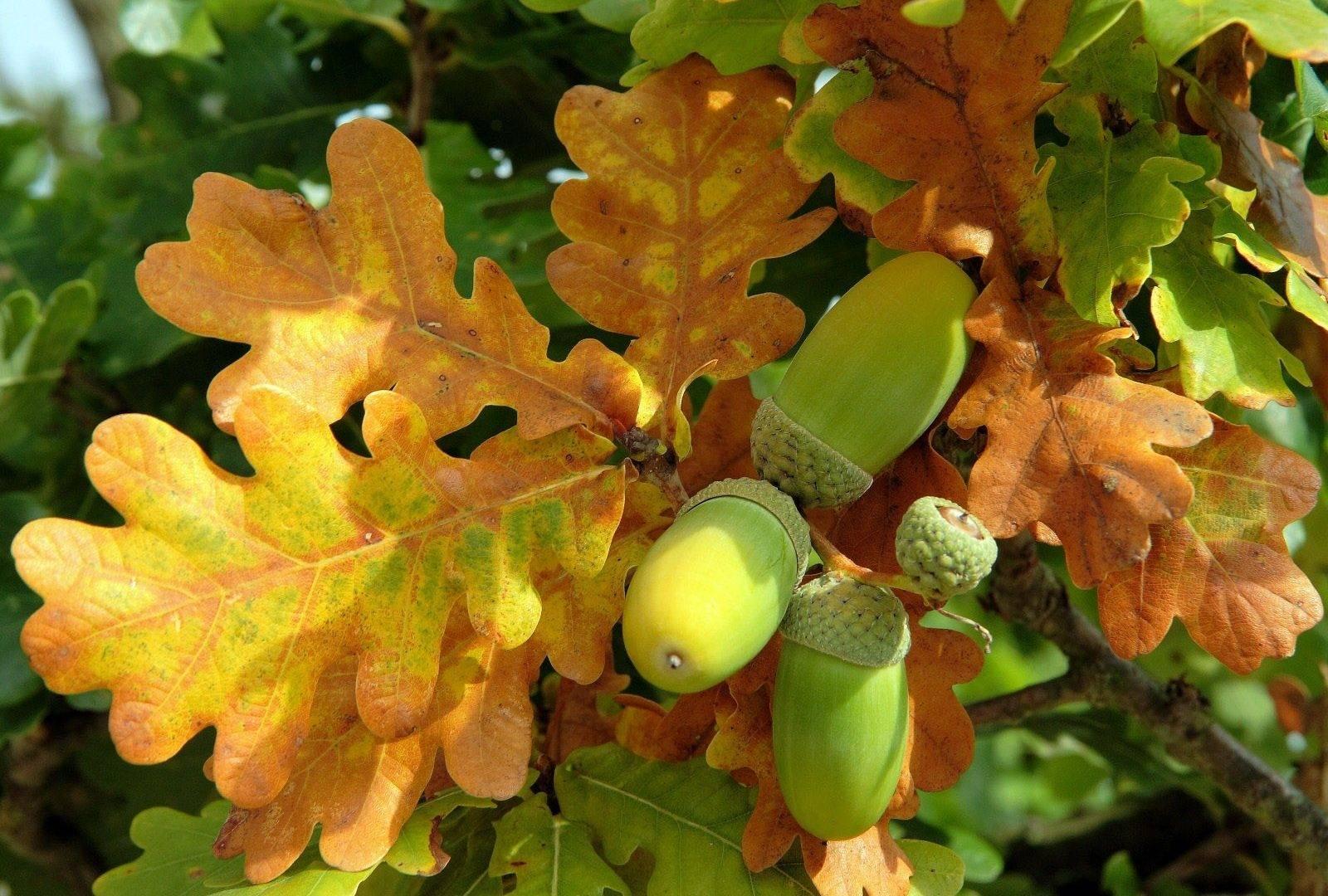 Выращивание из желудя дуба в домашних условиях