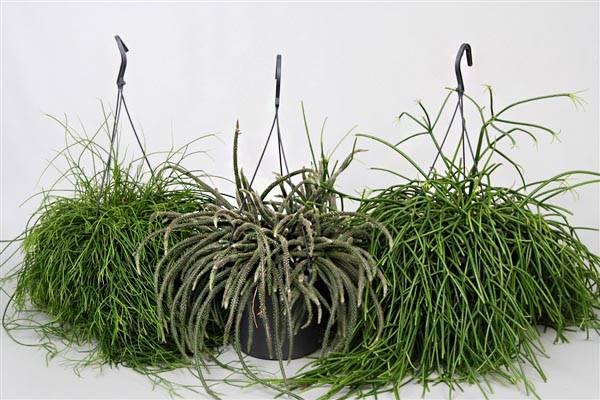 Диасция многолетние ампельное растение
