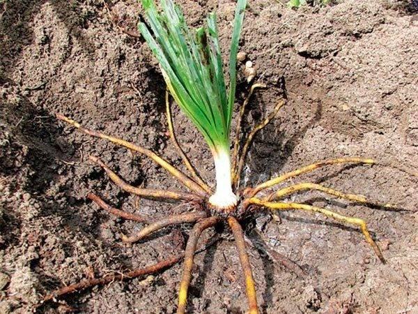 Эремурус посадка и уход в открытом грунте Эремурус из семян в домашних условиях Эремурус игла клеопатры фото