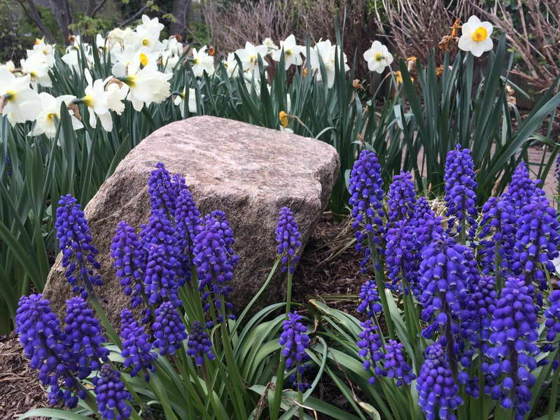 Мускари цветы посадка и уход в саду