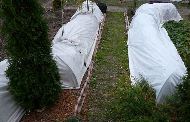Плетистая роза нью даун: фото, описание, условия содержания